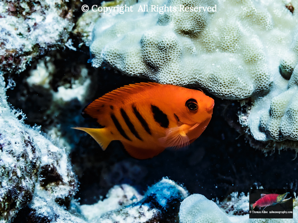 Flame Angelfish adjacent to lobe coral