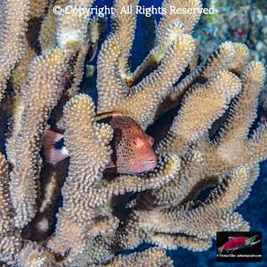 Freckled Hawkfish ambush perch