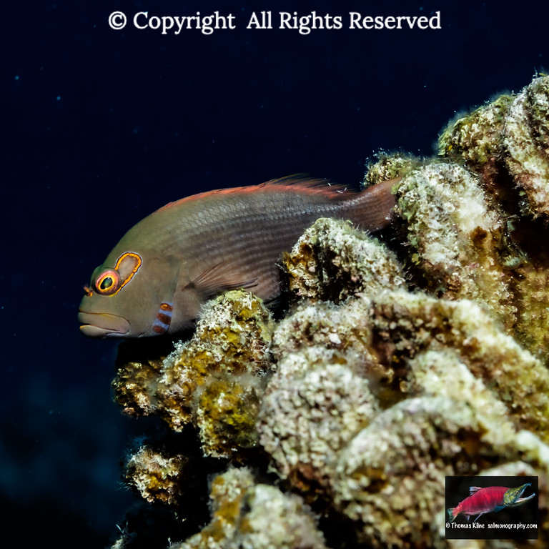 Dark pattern Arc-eye Hawkfish resting on algae-covered dead coral that was a result of coral bleaching