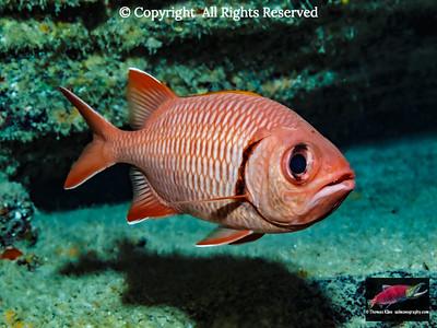 Bigscale Soldierfish near tephra layers
