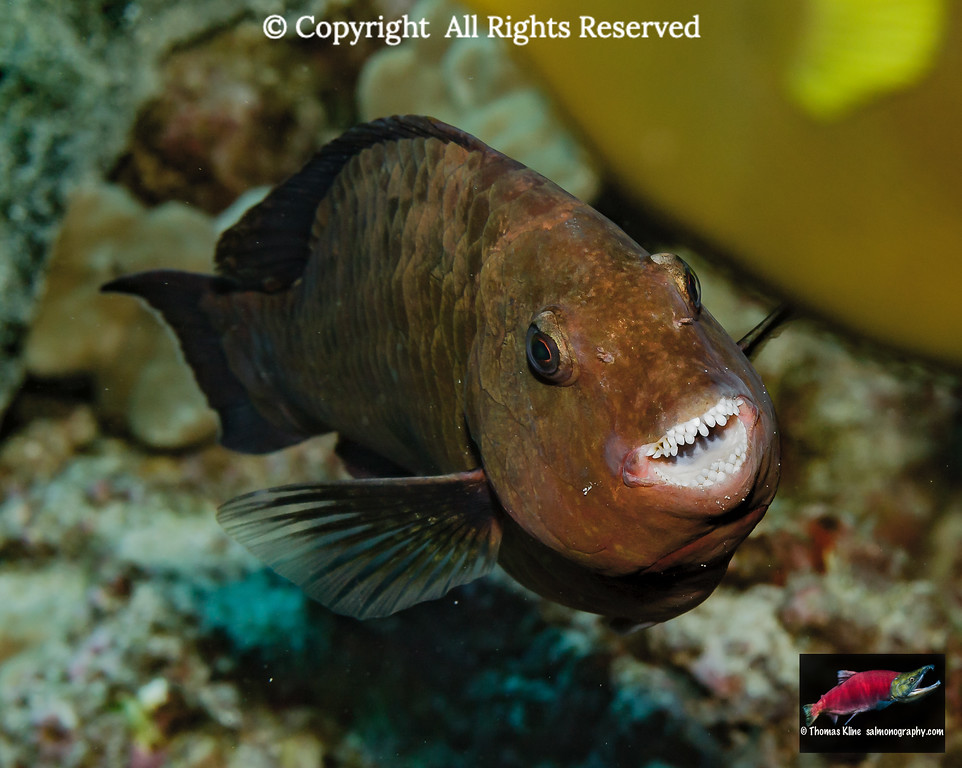 A female Regal Parrotfish