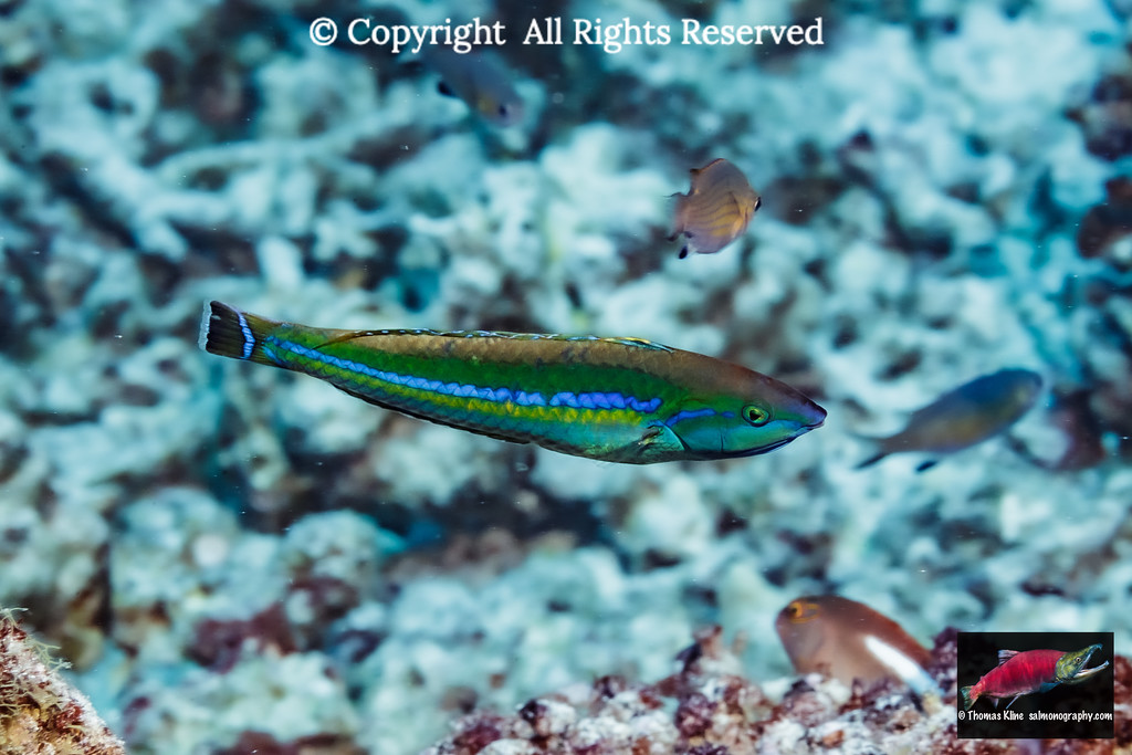 Smalltail Wrasse male