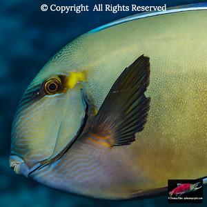 Ringtail Surgeonfish closeup
