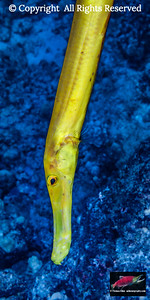 Chinese Trumpetfish (Aulostomus chinensis)