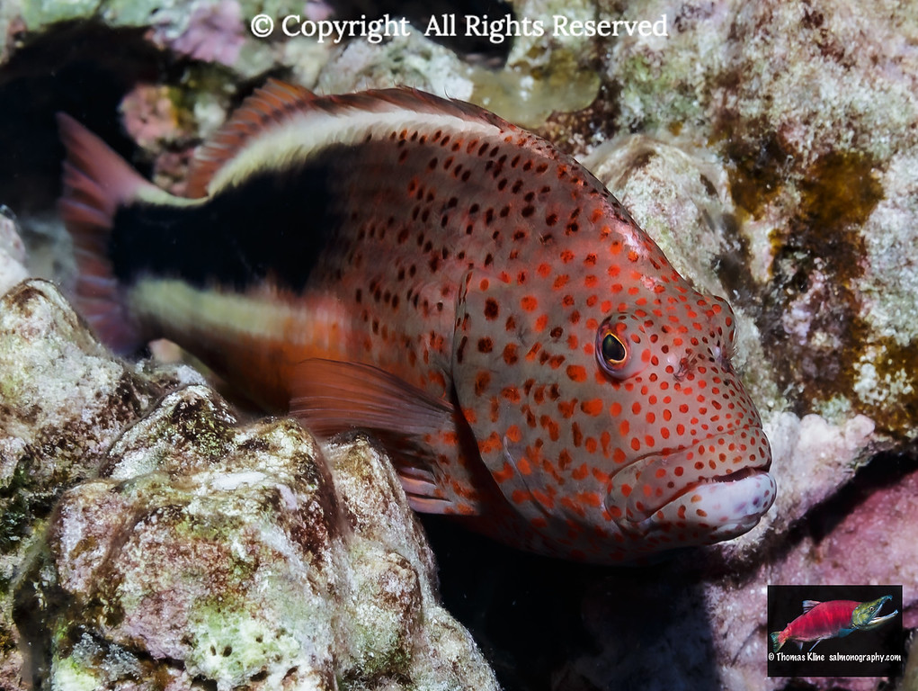 Freckled Hawkfish resting on algae-covered dead coral