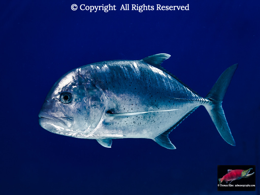 Ulua or Giant Trevally