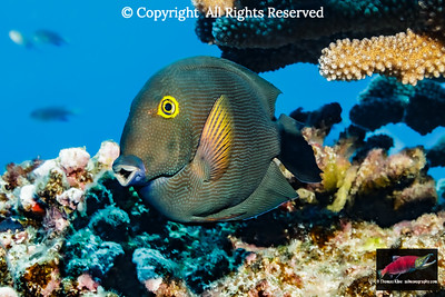 Goldring Surgeonfish positioned below antler coral