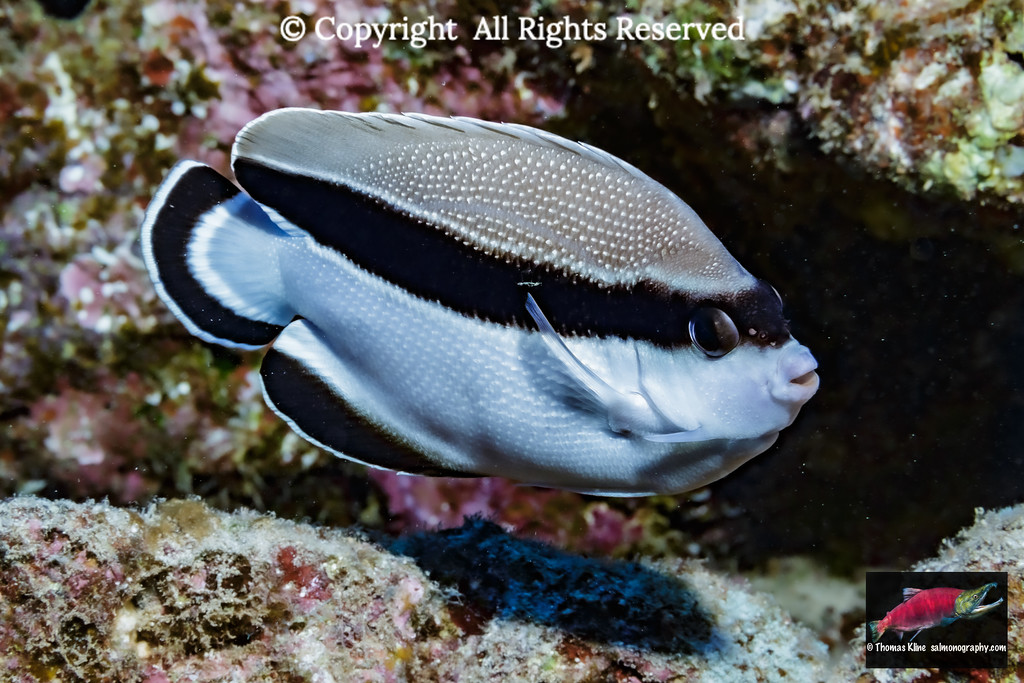 Bandit Angelfish are only found in the Hawaiian islands