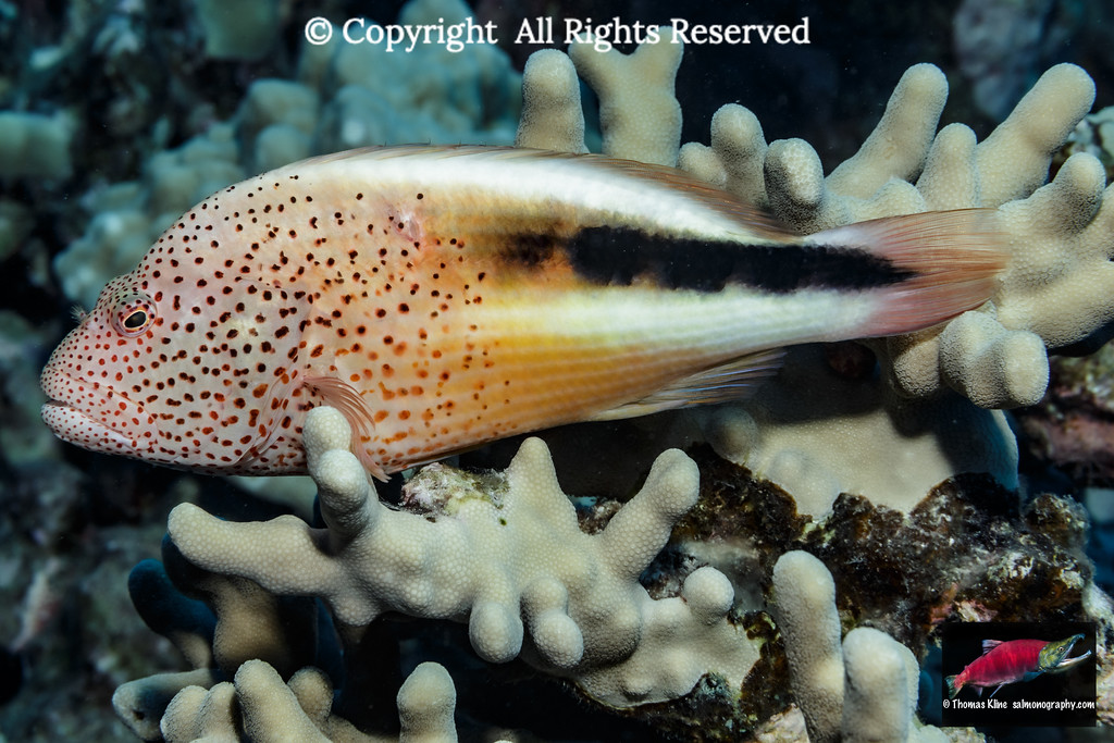 Freckled Hawkfish resting on Finger Coral