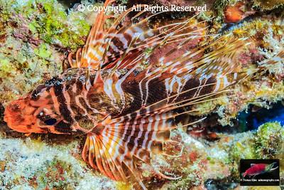 Hawaiian Turkeyfish