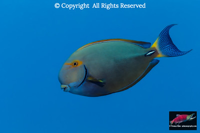 Eyestripe Surgeonfish swims by
