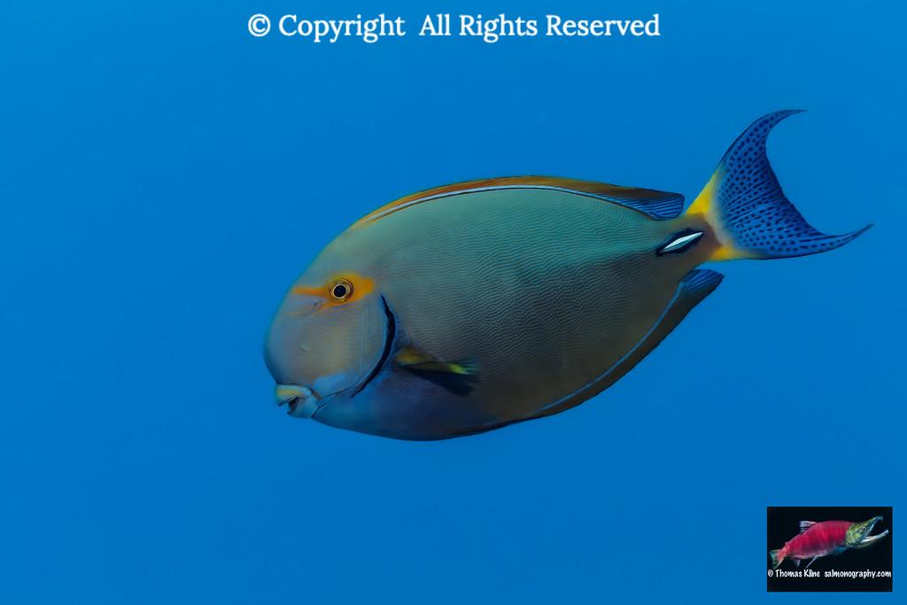 Eyestripe Surgeonfish swims by
