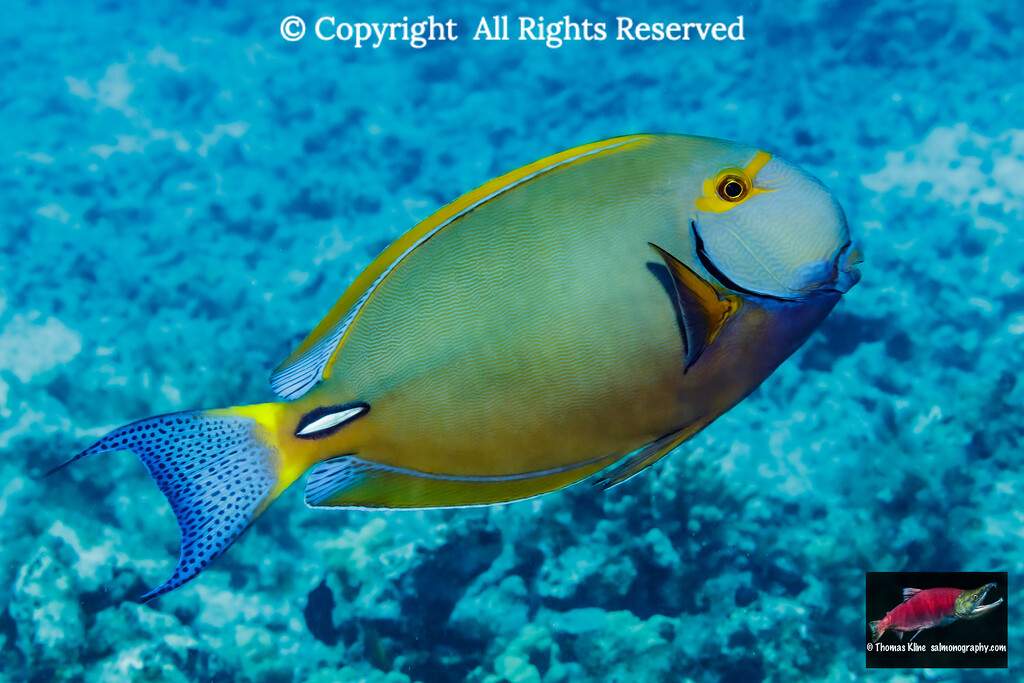 Eyestripe Surgeonfish portrait