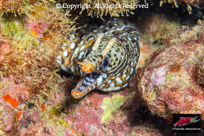 Dragon Moray Eel resting in a crevice