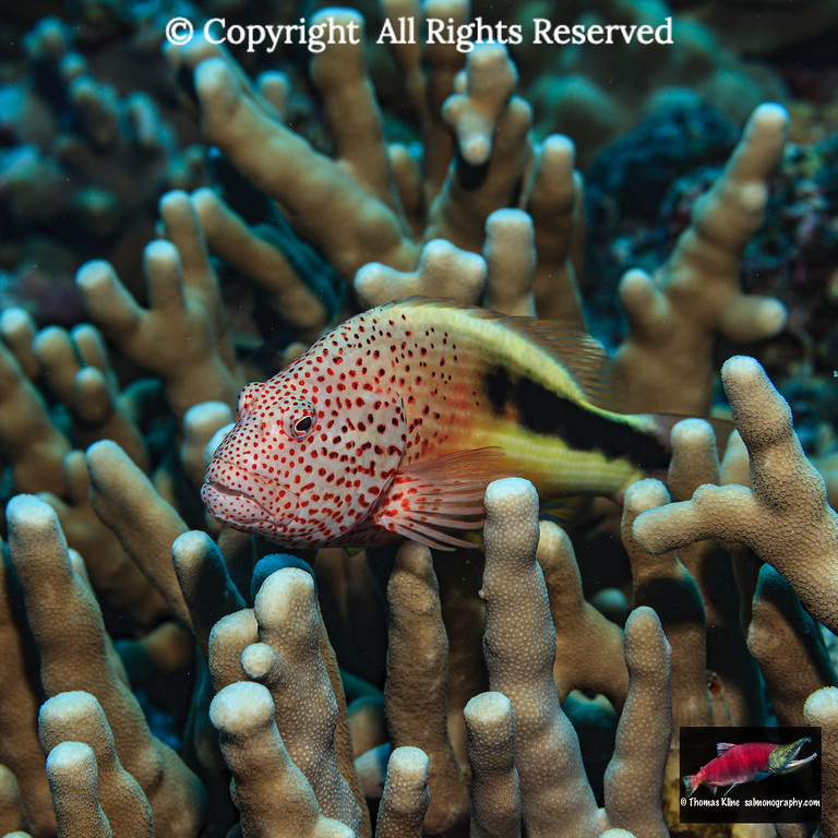 A Freckled Hawkfish on finger coral