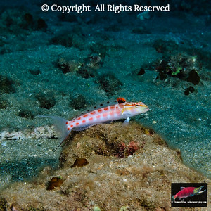 Redspotted Sandperch