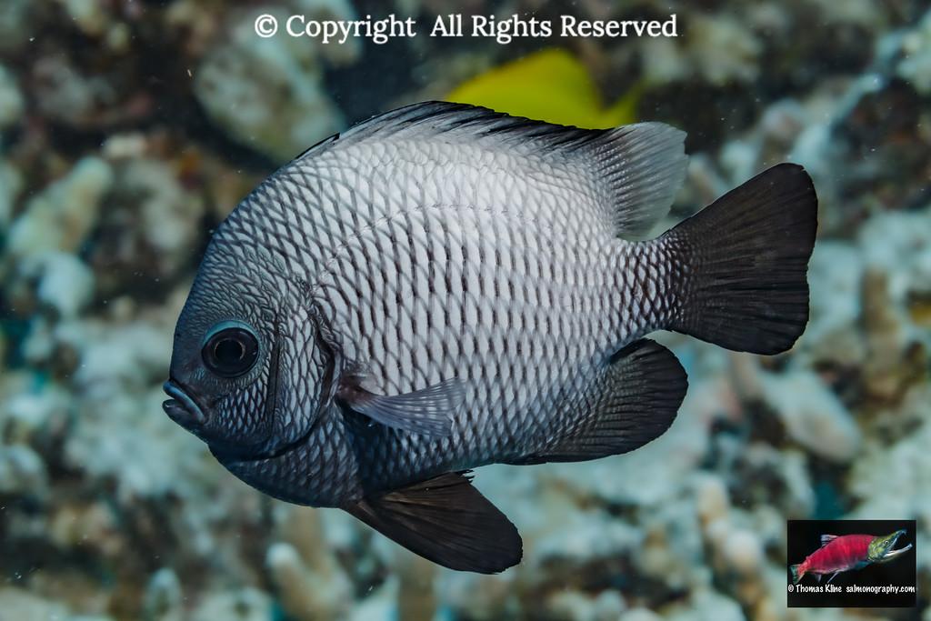 Hawaiian Dascyllus, an endemic fish species