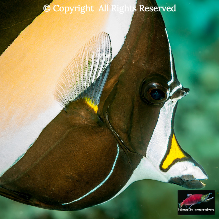 Moorish Idol closeup