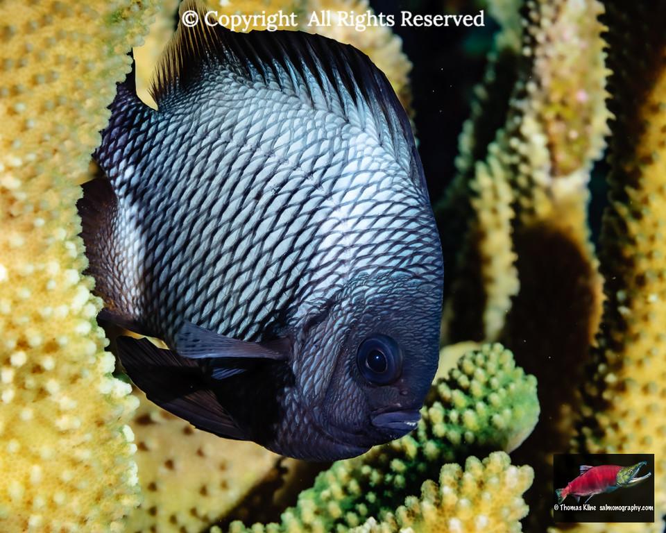Hawaiian Dascyllus