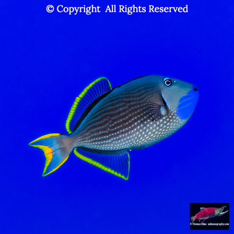 Portrait of a male Bluegill Triggerfish