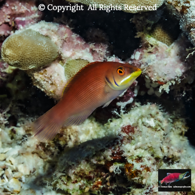 Disappearing Wrasse makes an appearance