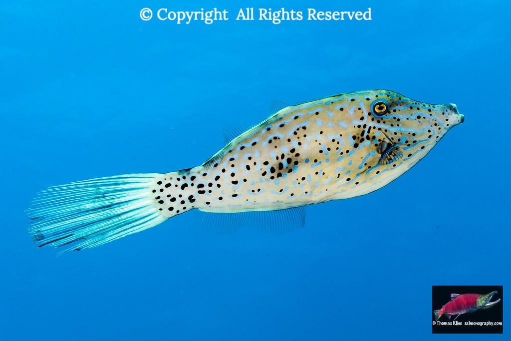 Scrawled Filefish portrait
