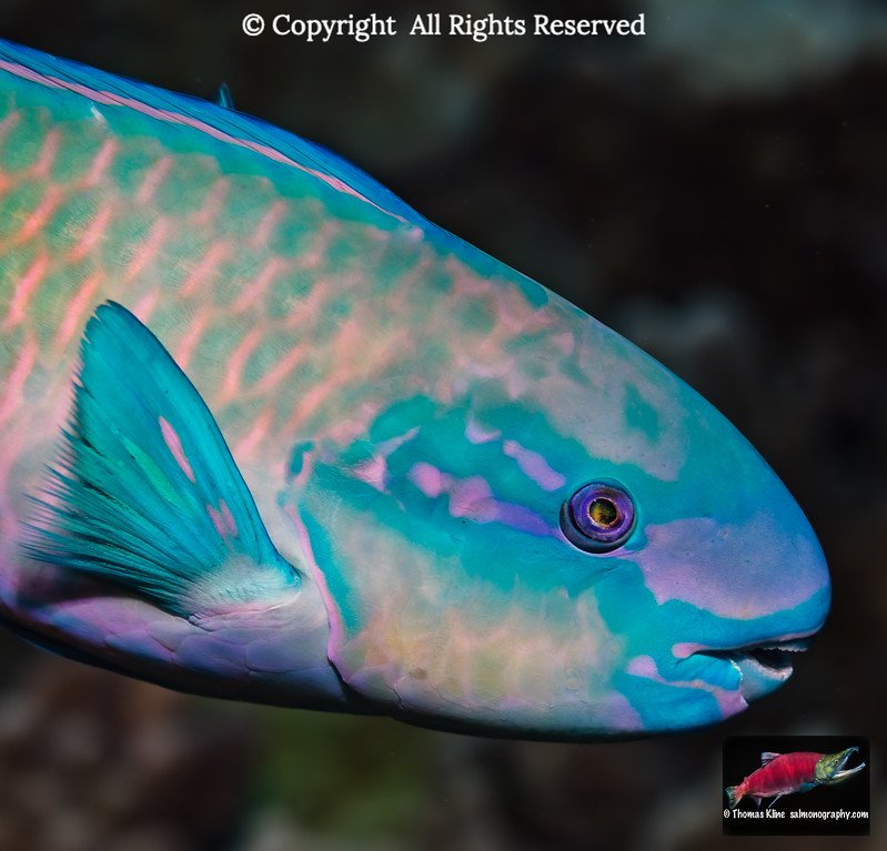 Terminal male Bullethead Parrotfish
