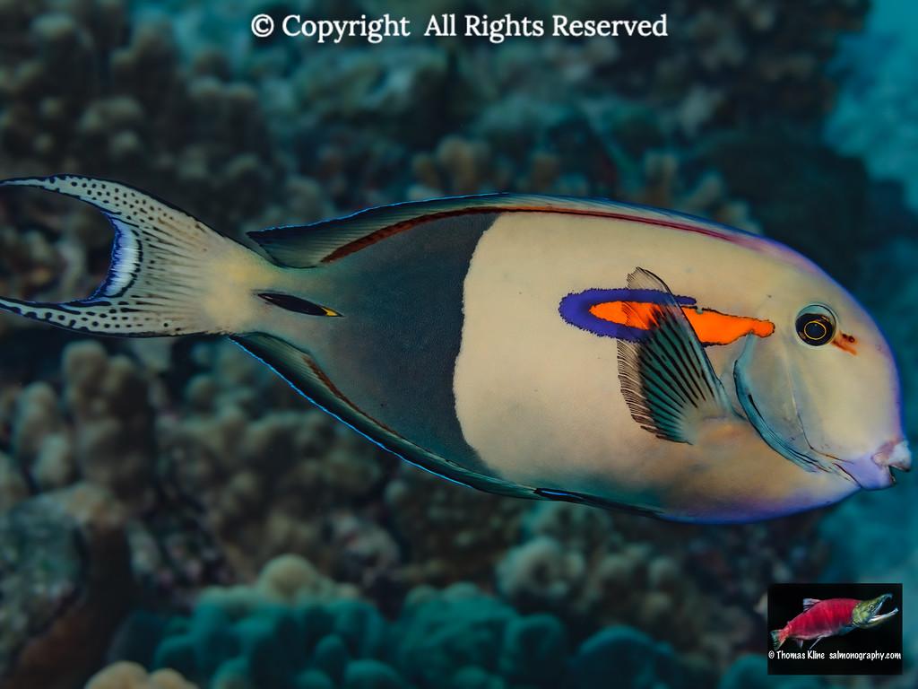 An Orangeband Surgeonfish