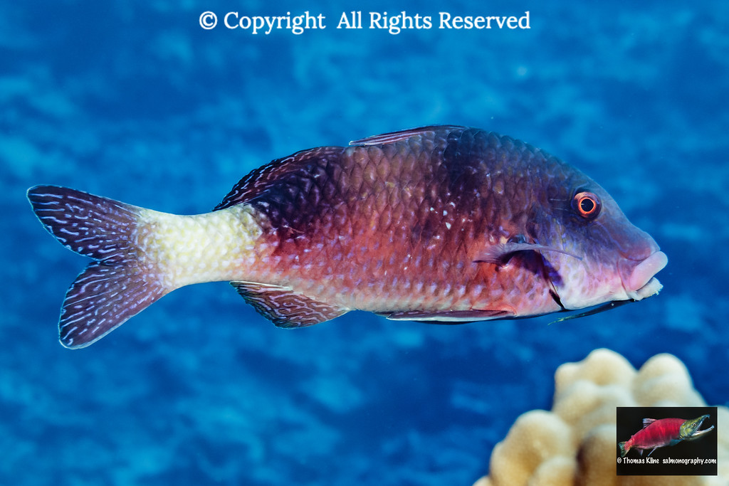 Island Goatfish portrait