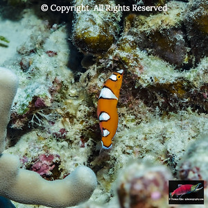 Juvenile Yellowtail Coris were the nicknamed the Hawaiian Nemo Fish following a popular movie