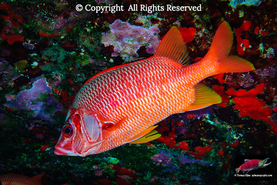 Saber Squirrelfish