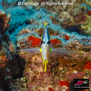 A head-on view of a Forcepsfish