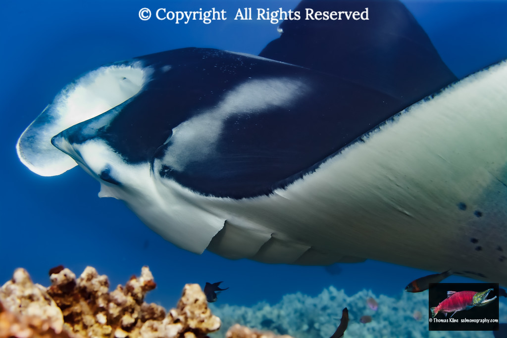 Manta Ray (Manta alfredi) hovers over a reef cleaning station