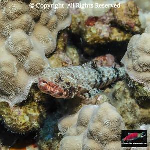 Orangemouth Lizardfish