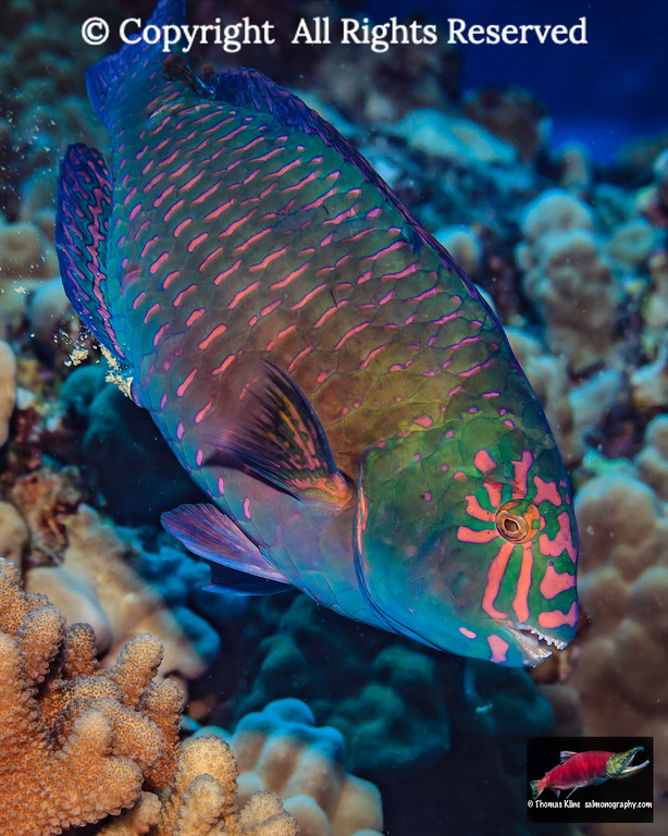 Male Stareye Parrotfish