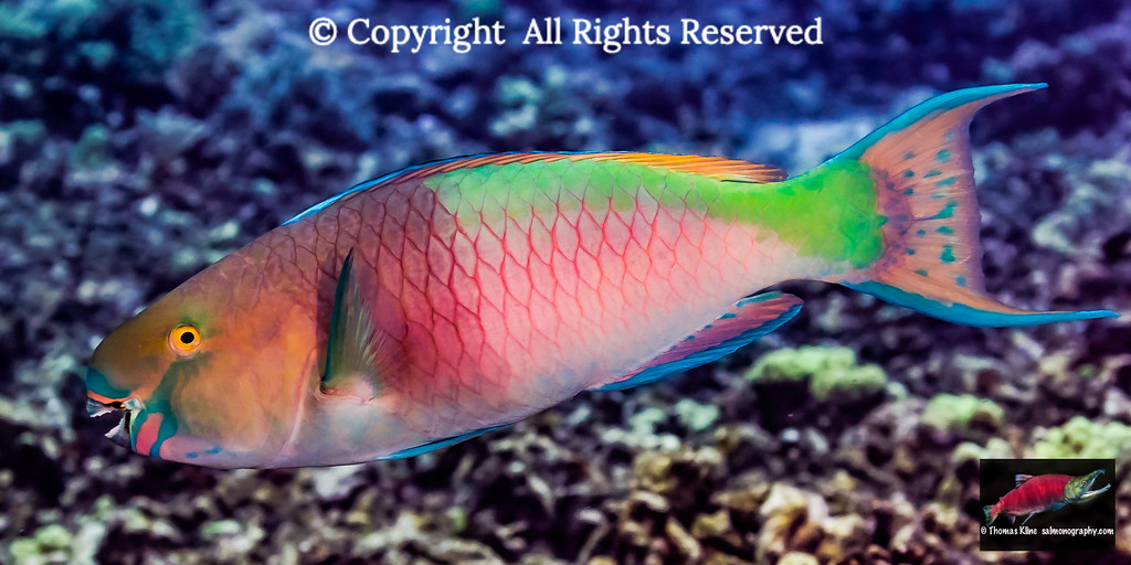 Redlip Parrotfish terminal male phase
