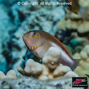 Light pattern Arceye Hawkfish resting on thick finger coral