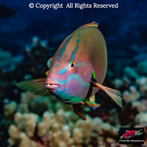 Yellowtail Coris male