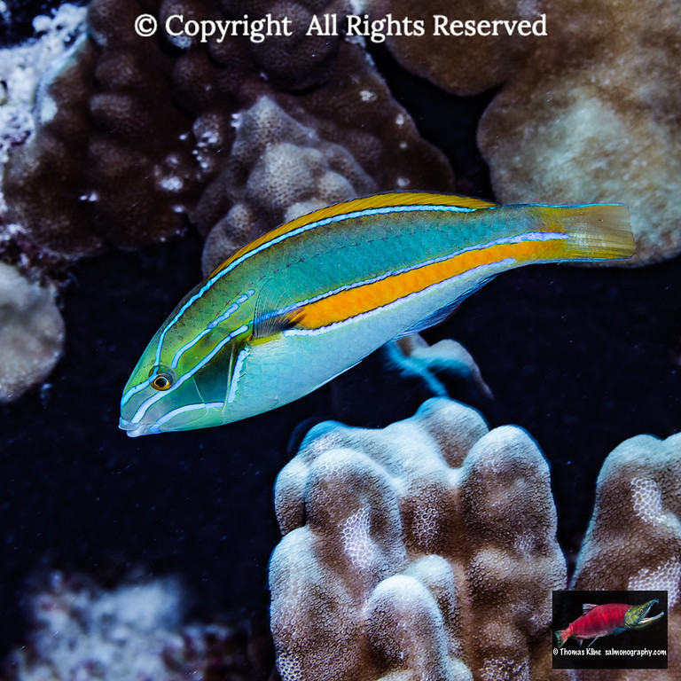 A Belted Wrasse
