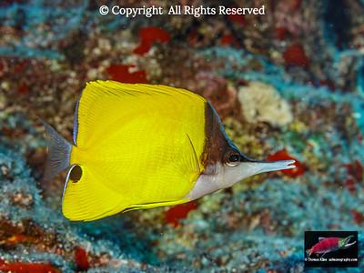 Forcepsfish