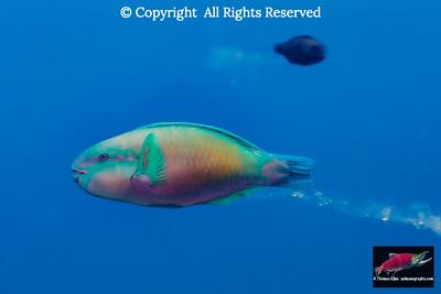Bullethead Parrotfish generating sand