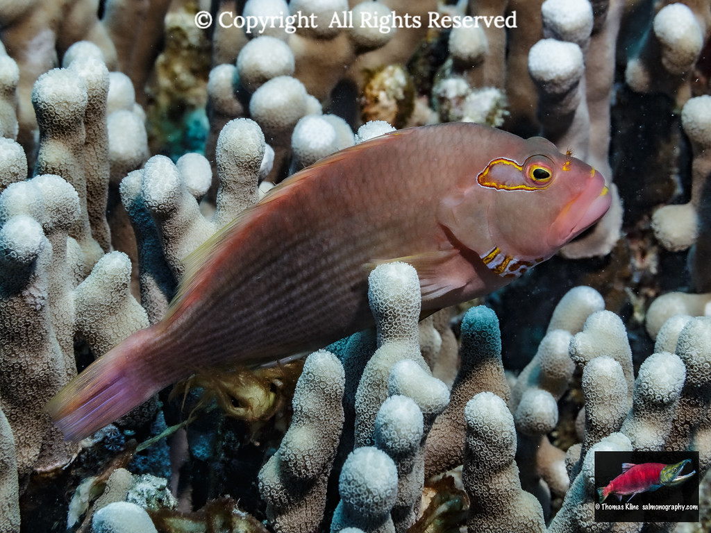 Dark pattern Arc-eye Hawkfish resting on finger coral