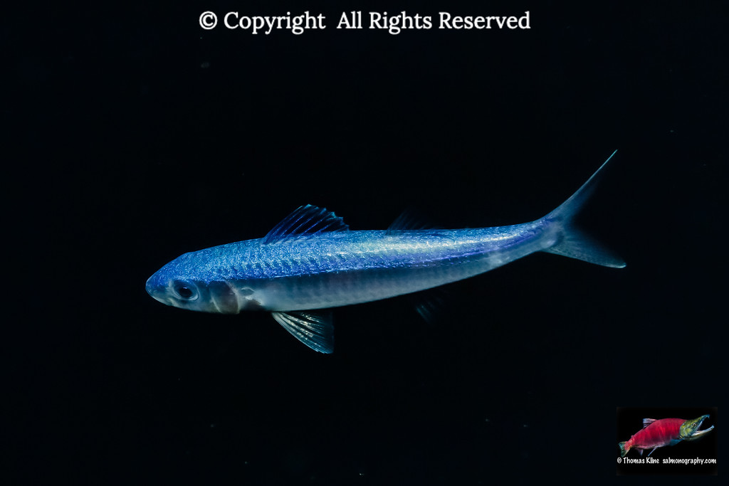 Late pelagic stage goatfish