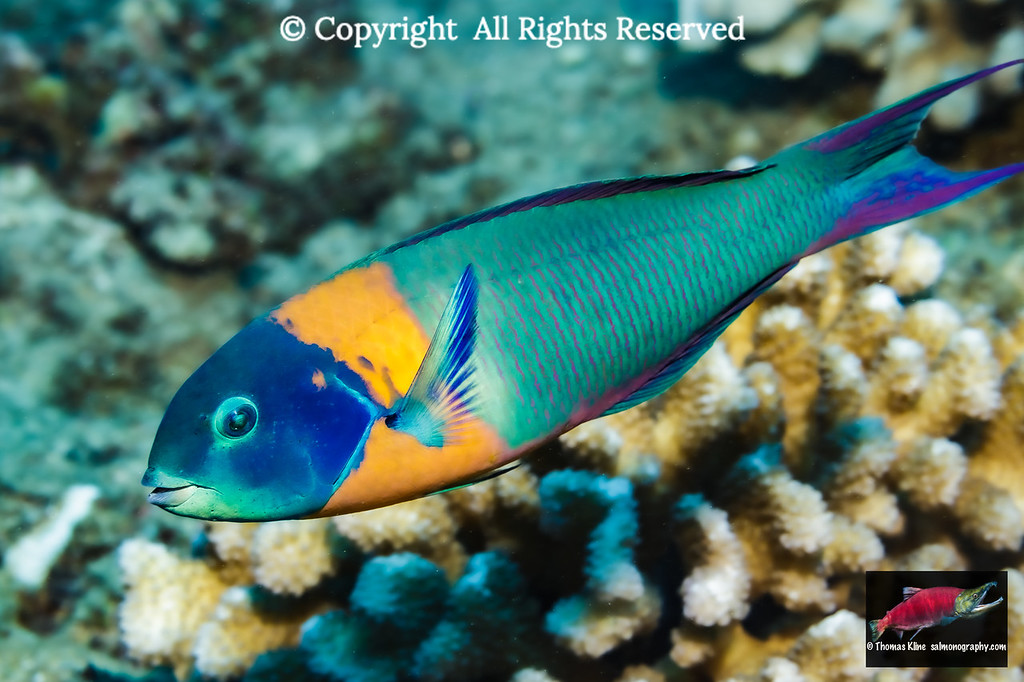 The Saddle Wrasse is endemic to Hawaii