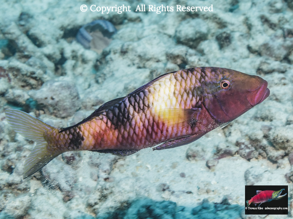 Manybar Goatfish releasing sand through its gill slits