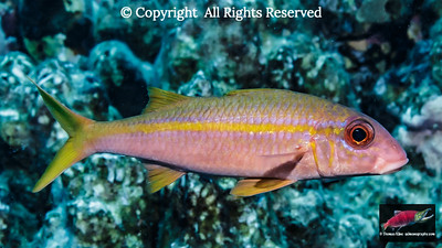 Yellowfin Goatfish portrait