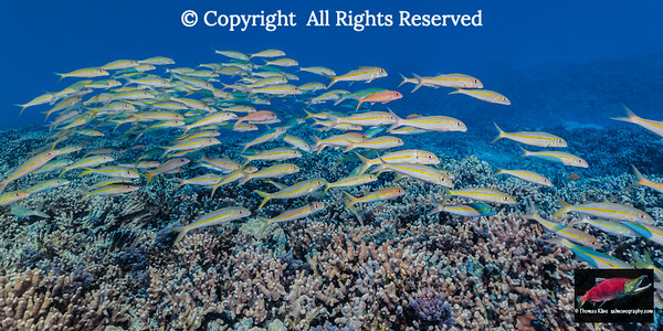 Yellowfin Goatfish over Finger Coral reef