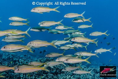 Yellowfin Goatfish