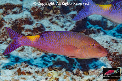 Blue Goatfish