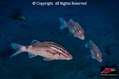 Whitesaddle Goatfish